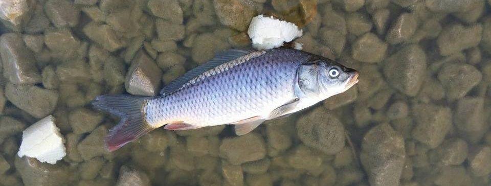 peces muertos laguna de Torrox