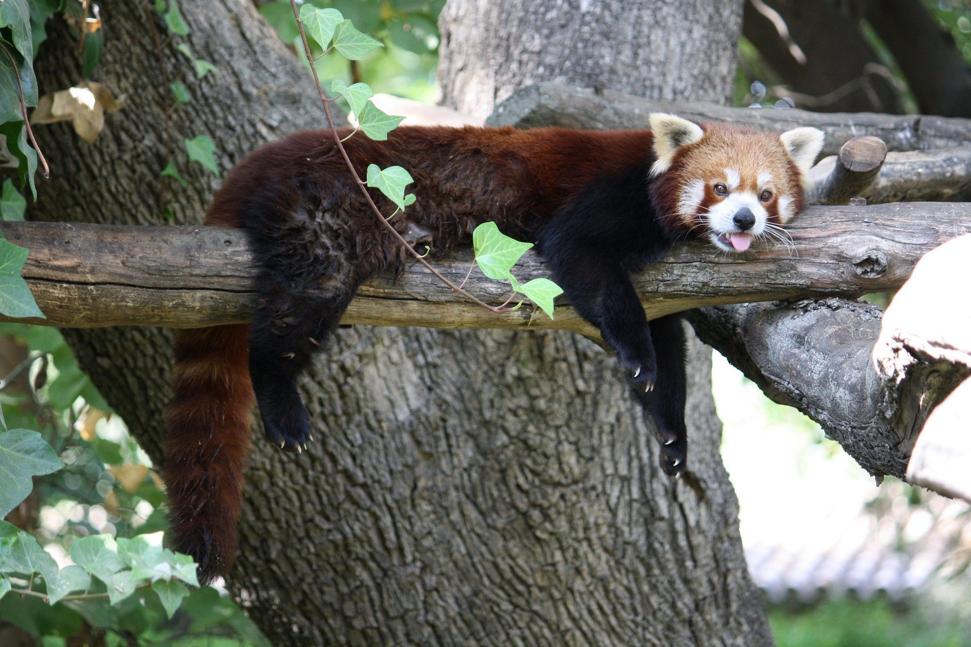 Un panda rojo en el Zoobotánico de Jerez.