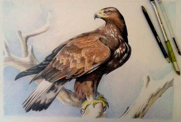 Dibujo expo Zoo aguila_real