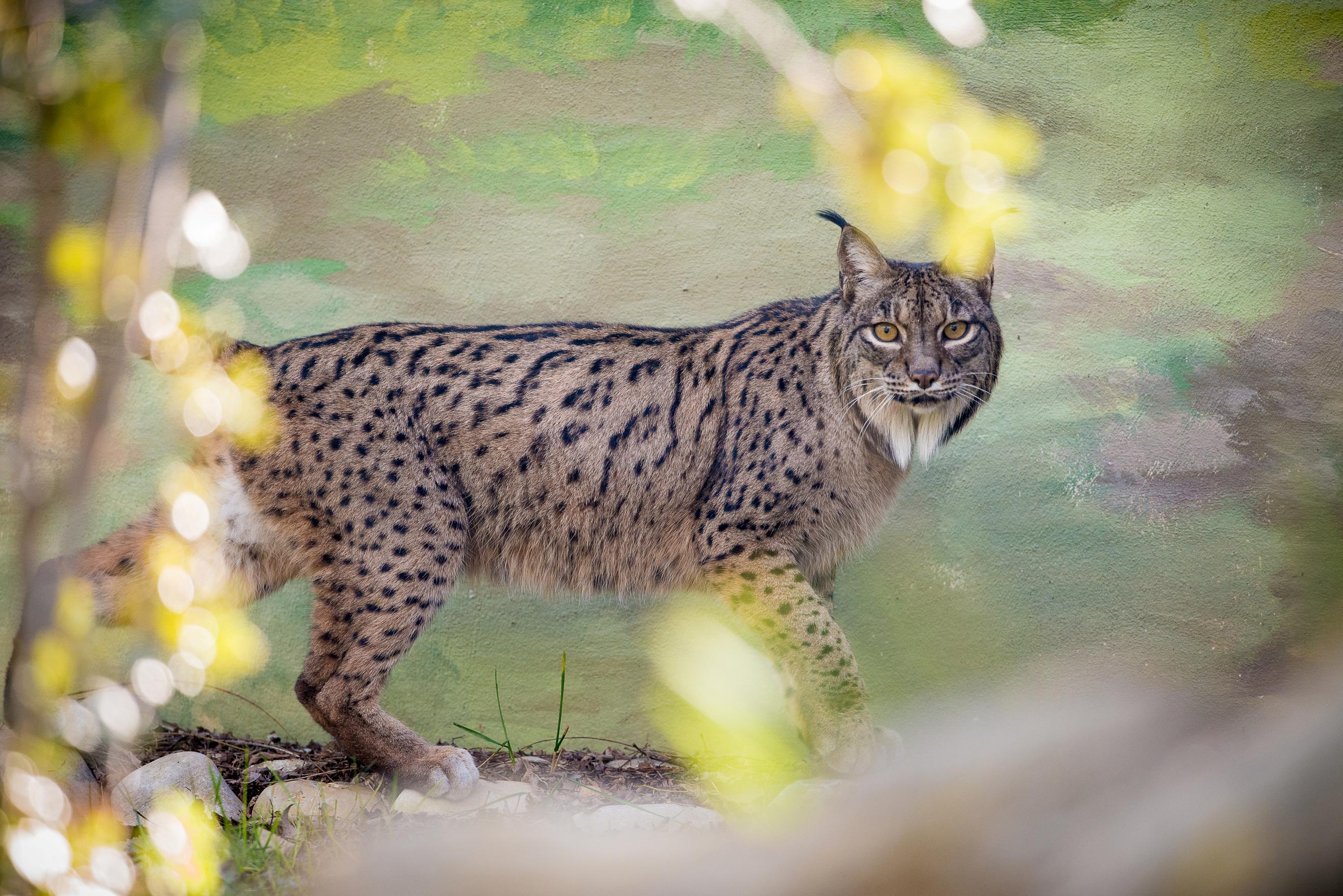 lince (1)