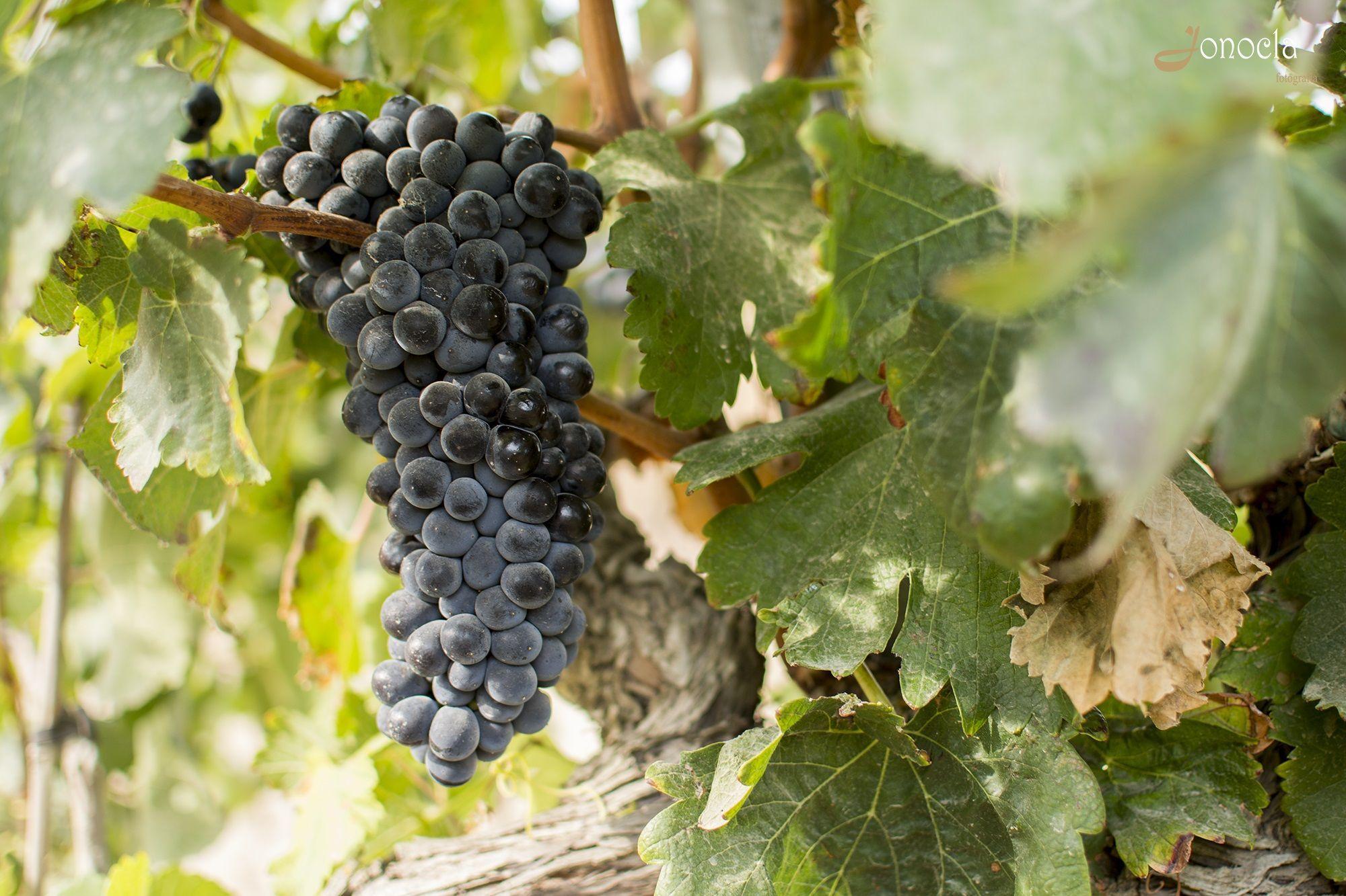 Jonocla uvas 1
