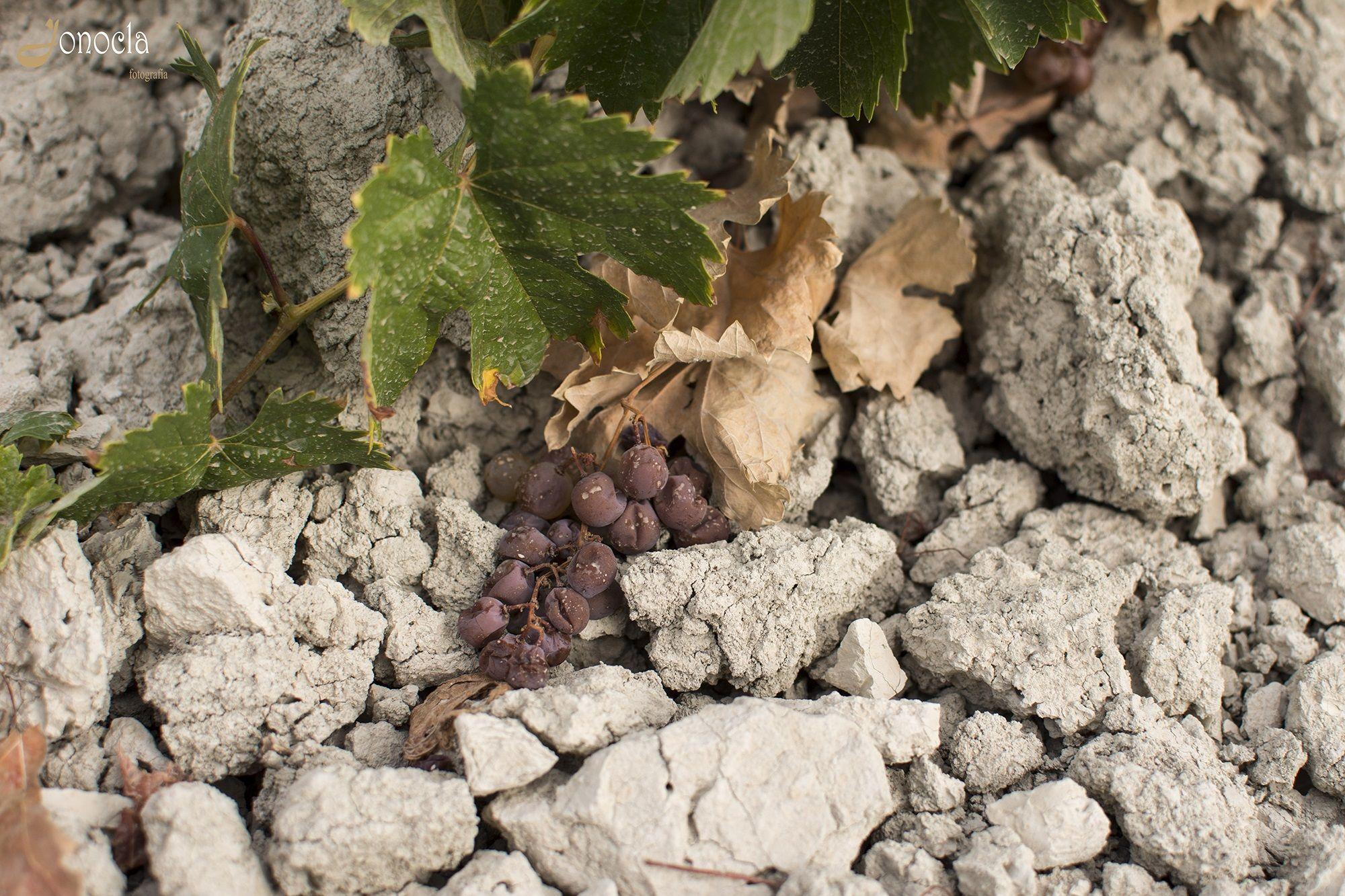 Jonocla uvas 2
