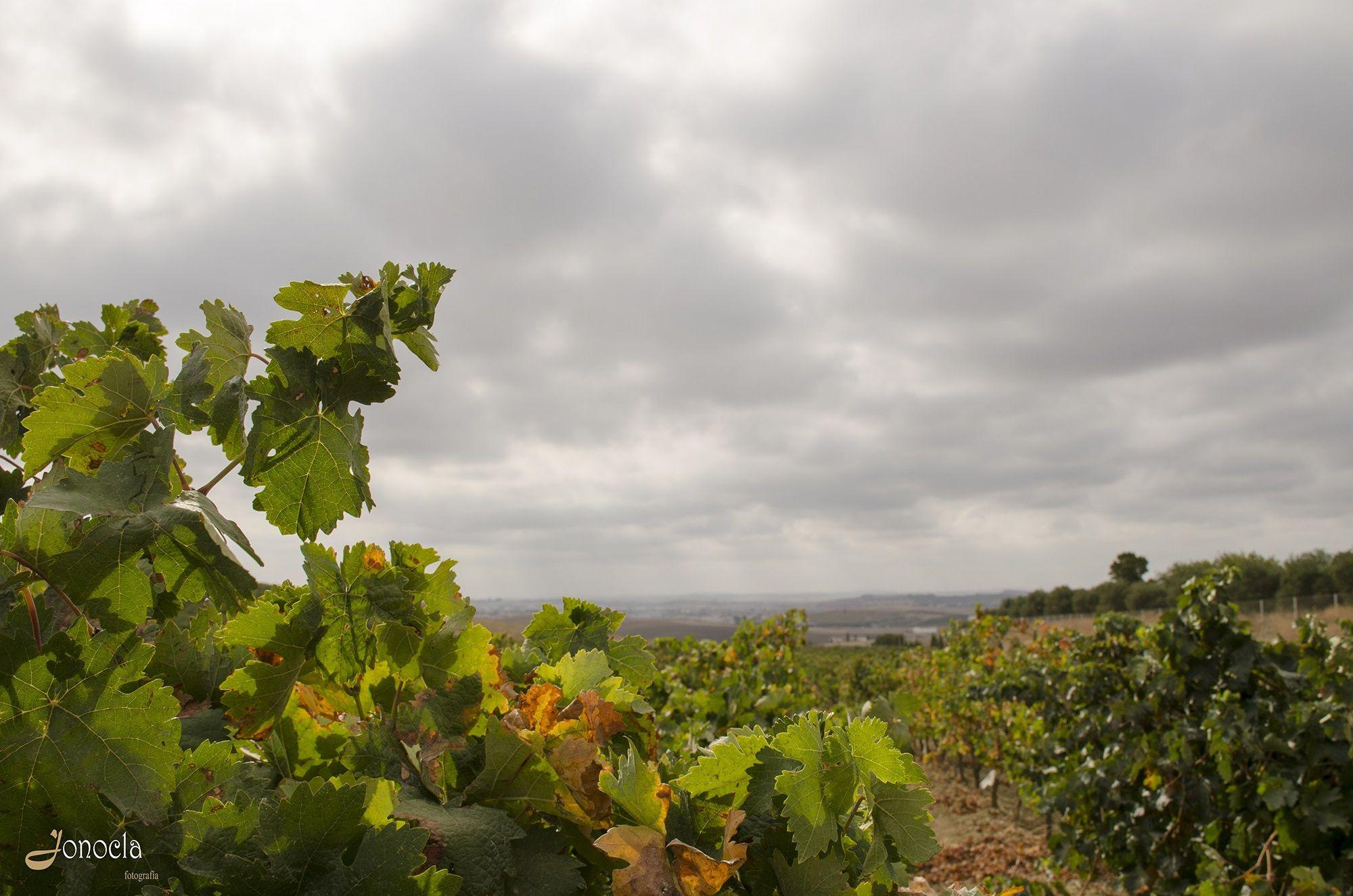 Jonocla uvas 5