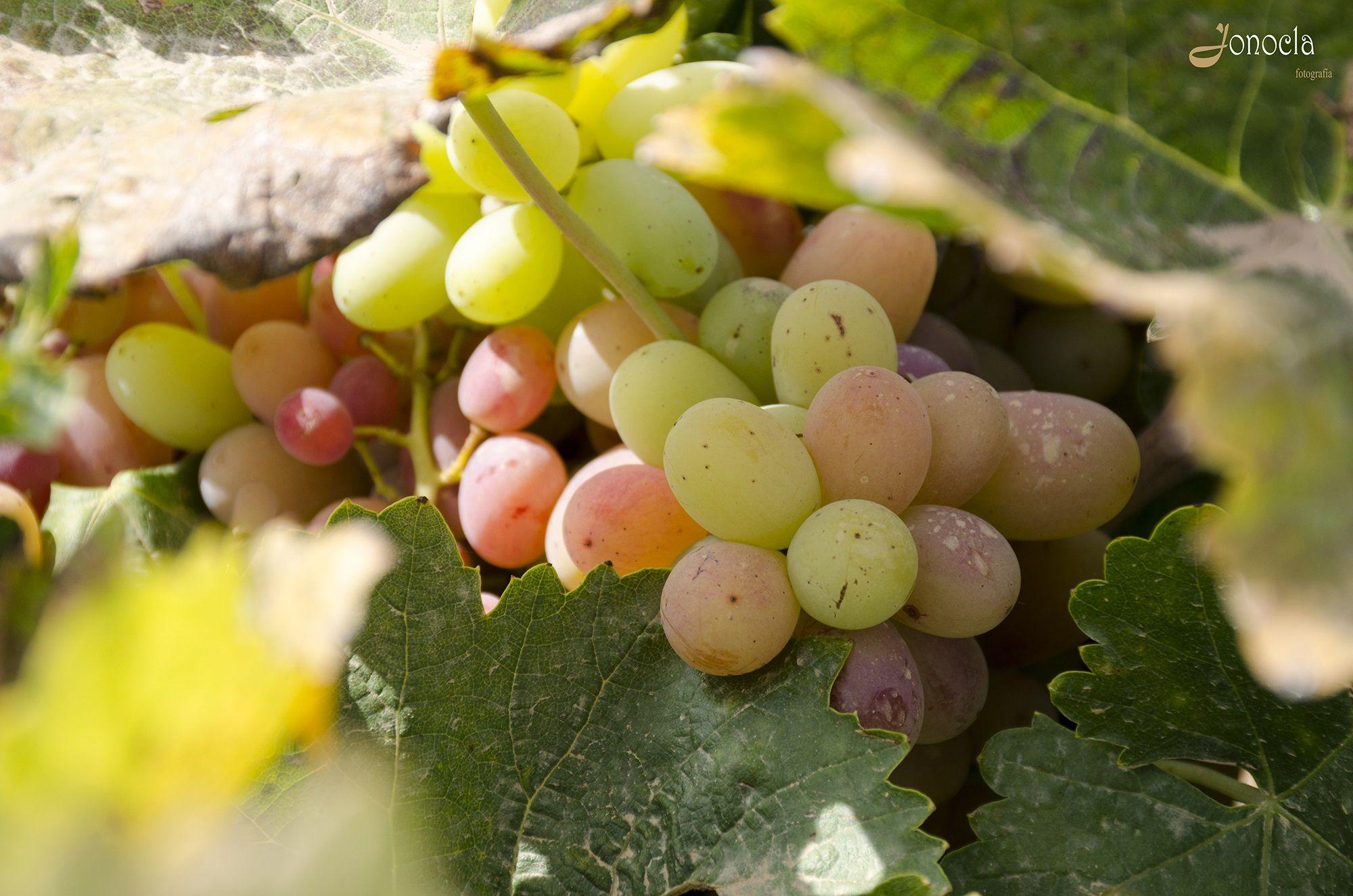 jonocla uvas 3