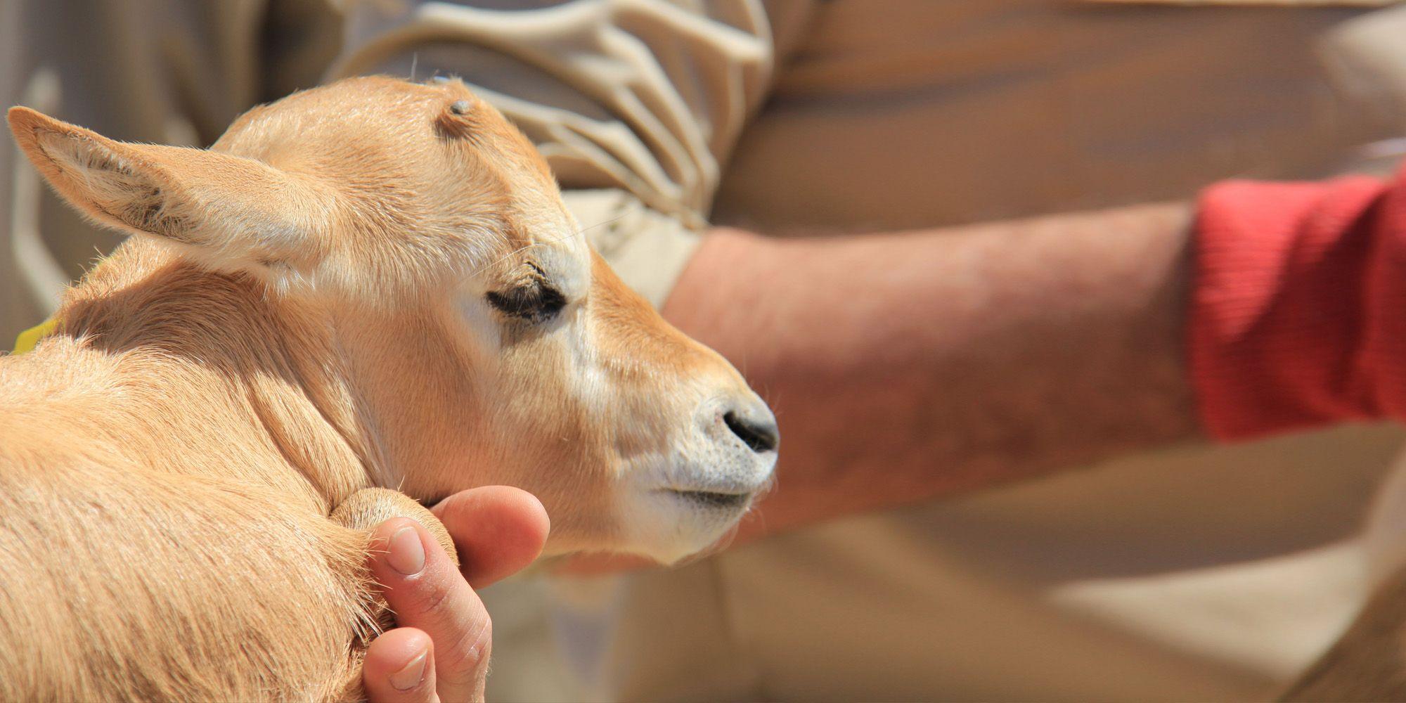 Oryx de Arabia zoo jerez 1