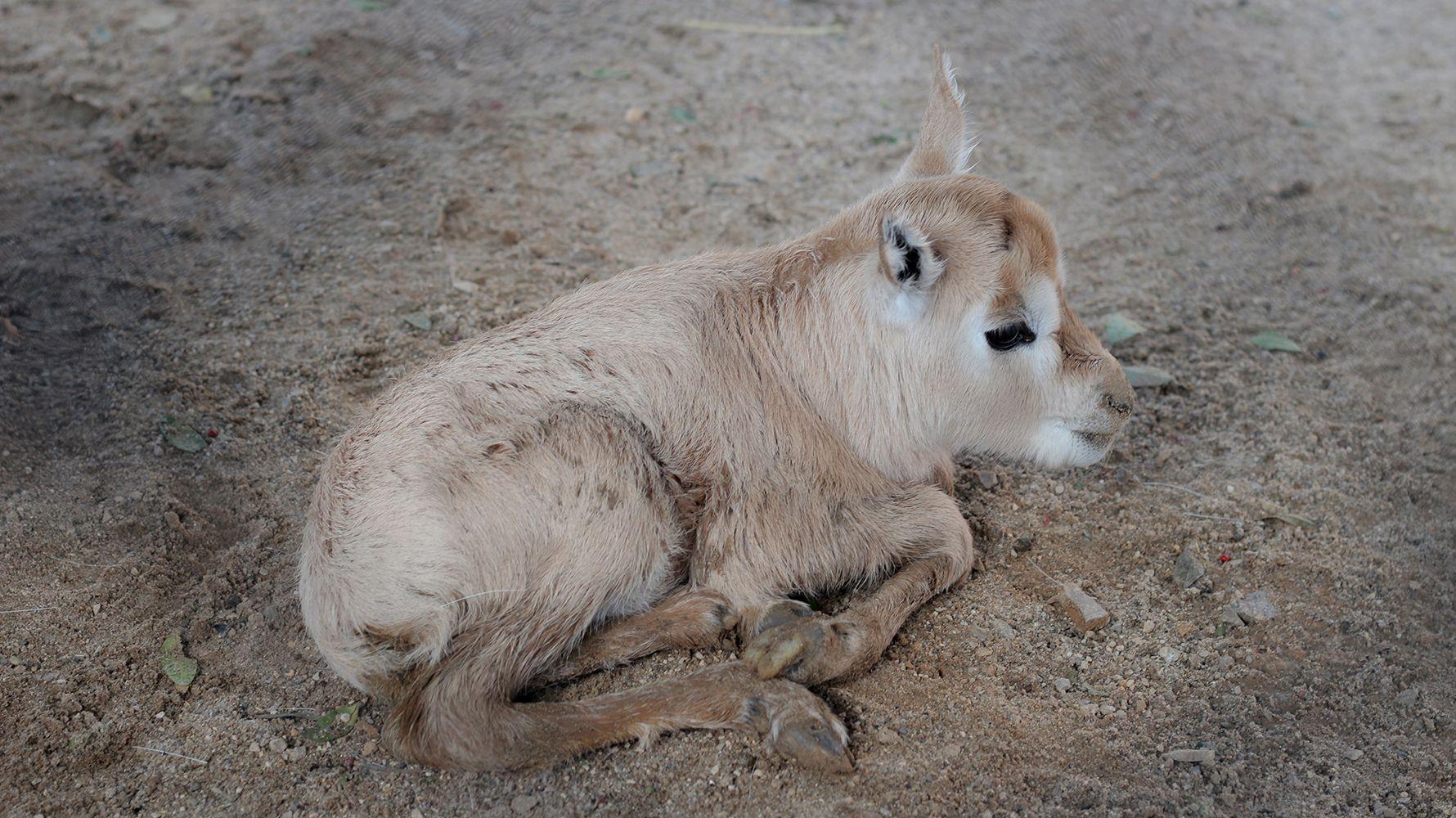 Oryx de Arabia zoo jerez 2