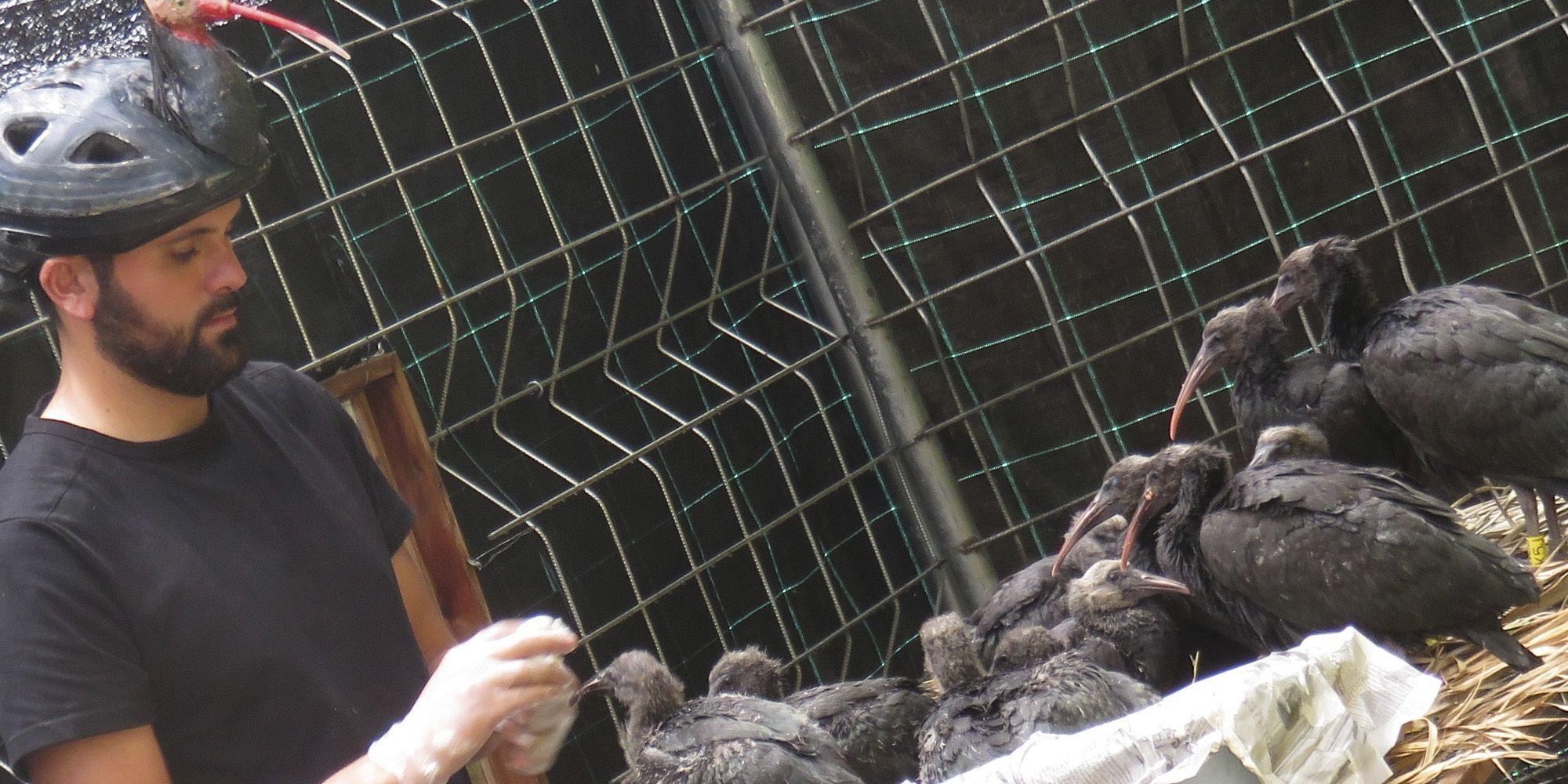 pollos de ibis eremita
