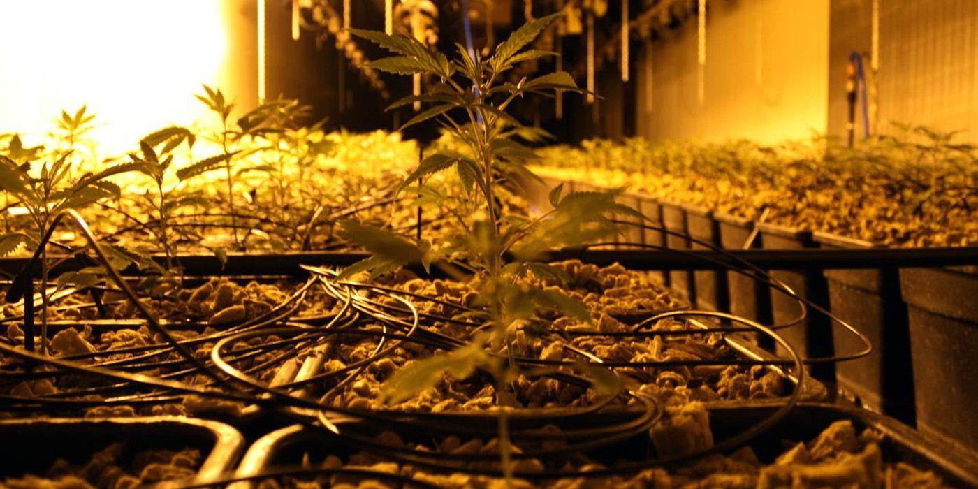 Plantacion Marihuana 2