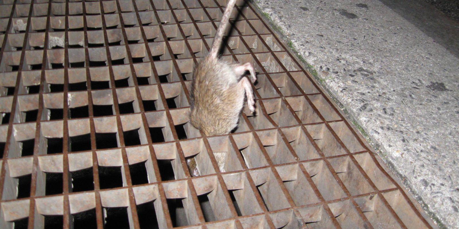 ratas-en-la-ciudad