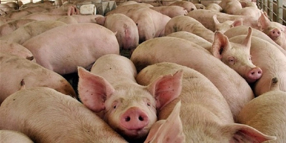 coronavirus cerdos