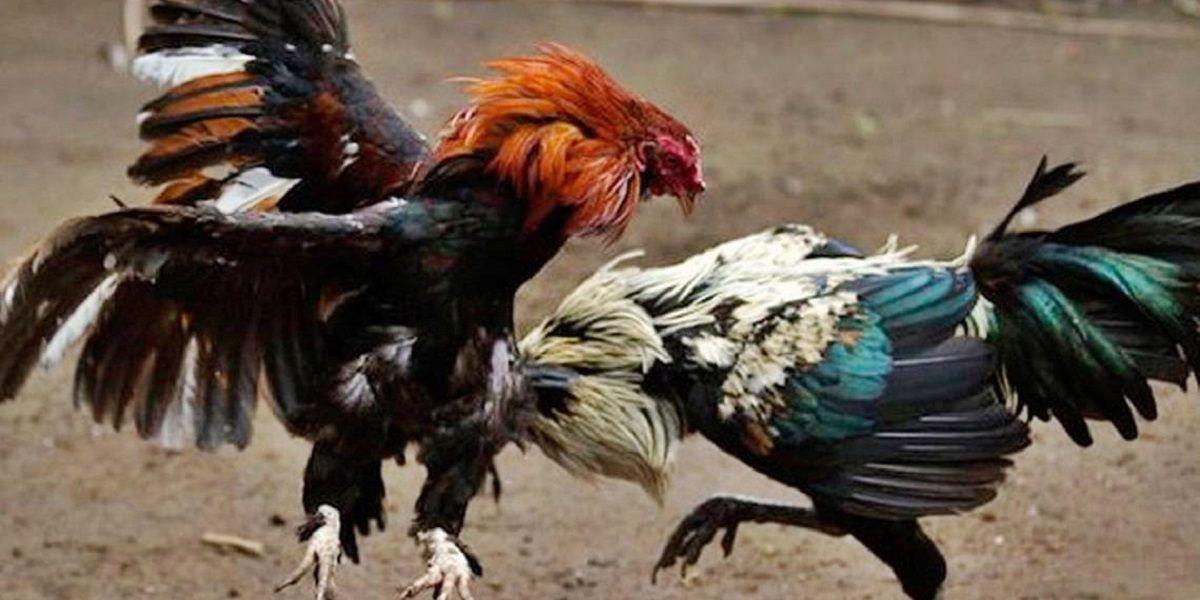 Internet gallos Guadalhorce