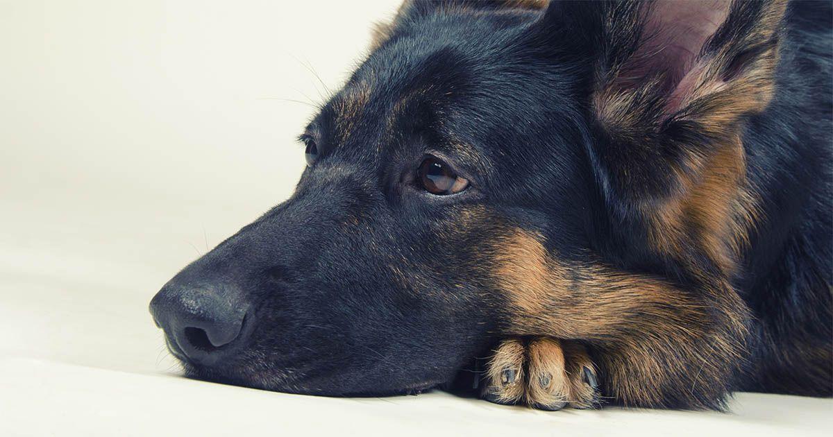 perro pastor aleman positivo coronavirus