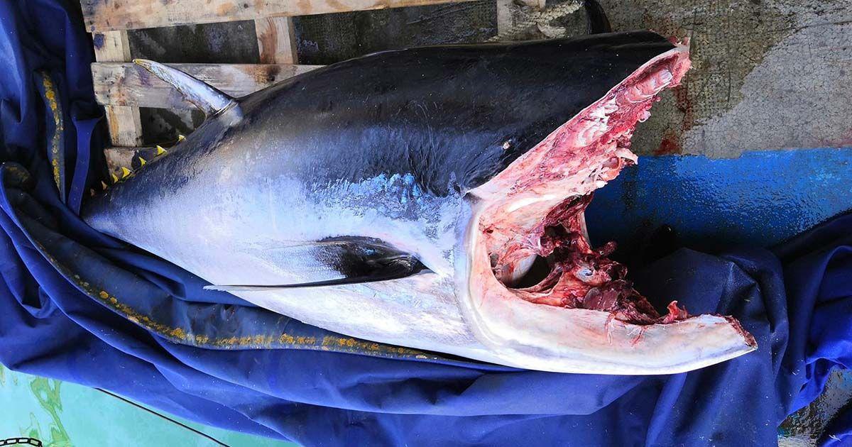 Atunes pesca ilegal