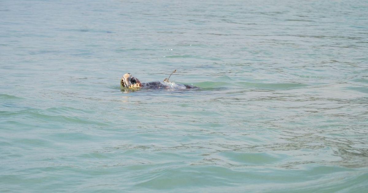 Sparrow, la tortuga boba liberada en Cádiz, cruza el Mediterráneo