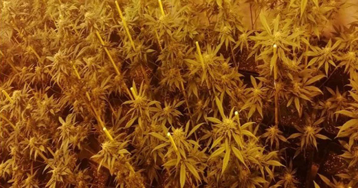 Plantaciones de marihuana en la barriada de Las Moreras (Córdoba)