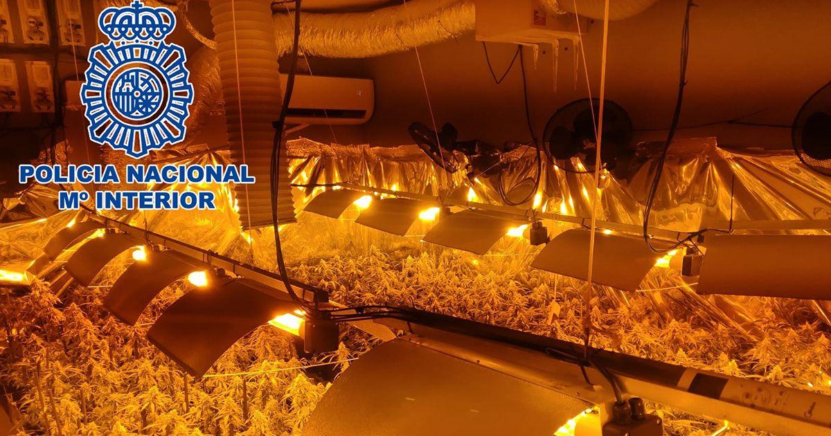 Descubren un cultivode 500 plantas de marihuana en una parcela de El Puerto