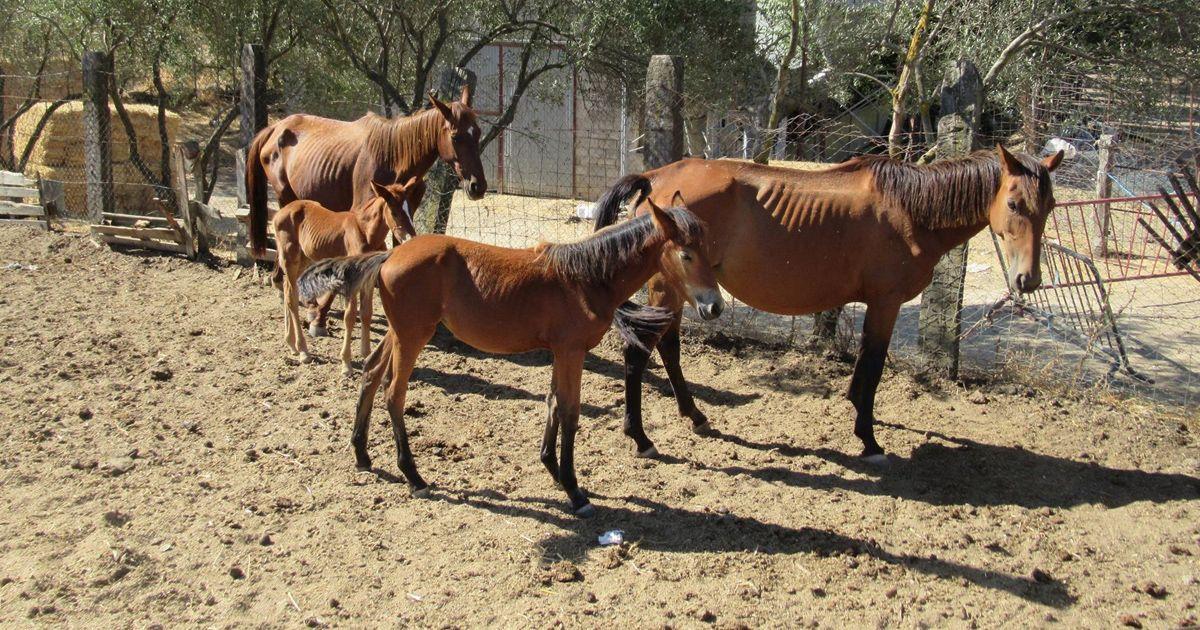 Encuentran 28 caballos desnutridos en El Pedroso