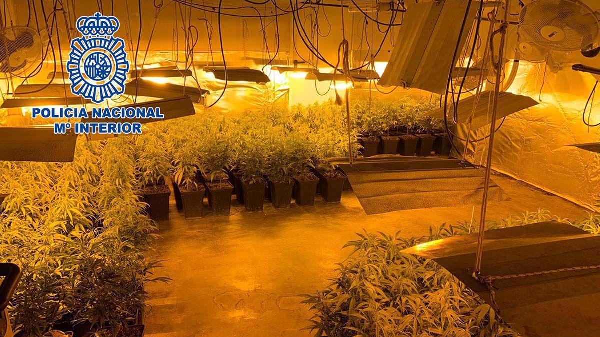Plantación de marihuana de un matrimonio y su hijo