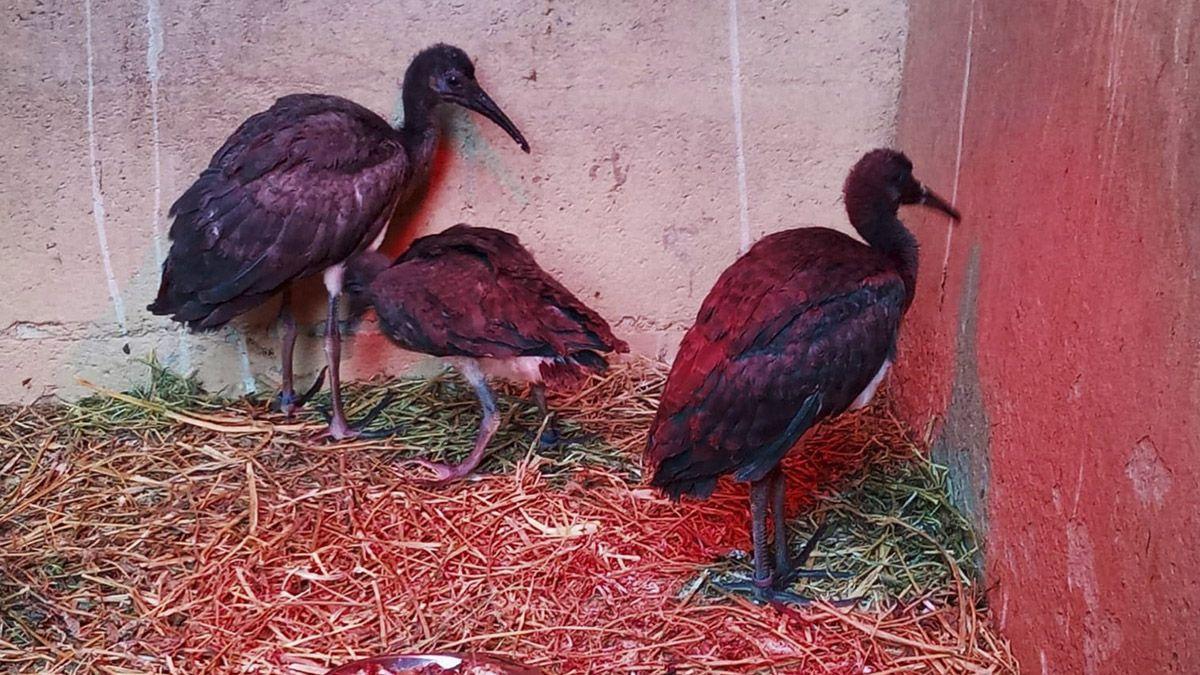 ibis escarlatas zoobotánico de Jerez