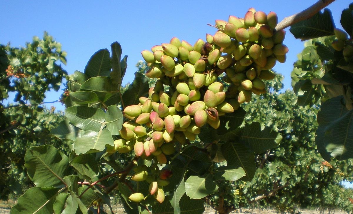 trama pistachos España Francia